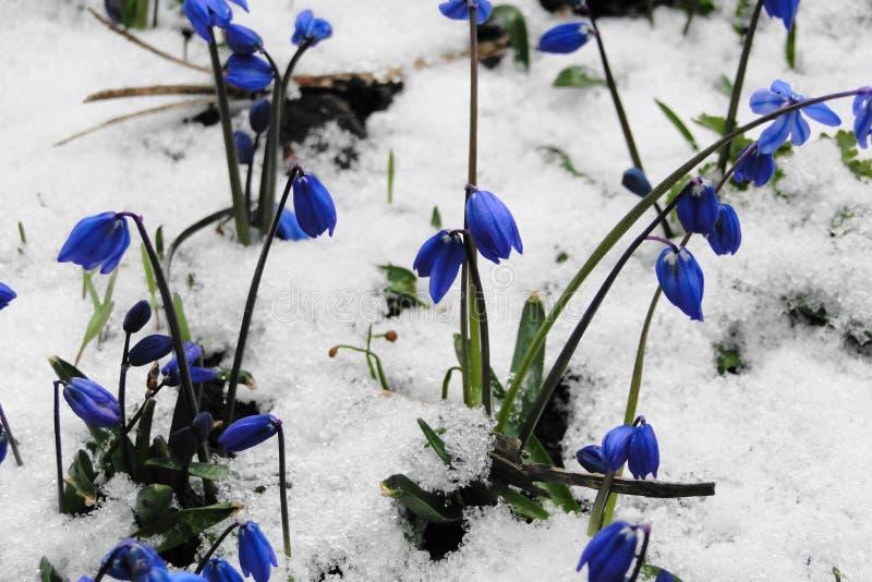 Flores na neve foto de stock