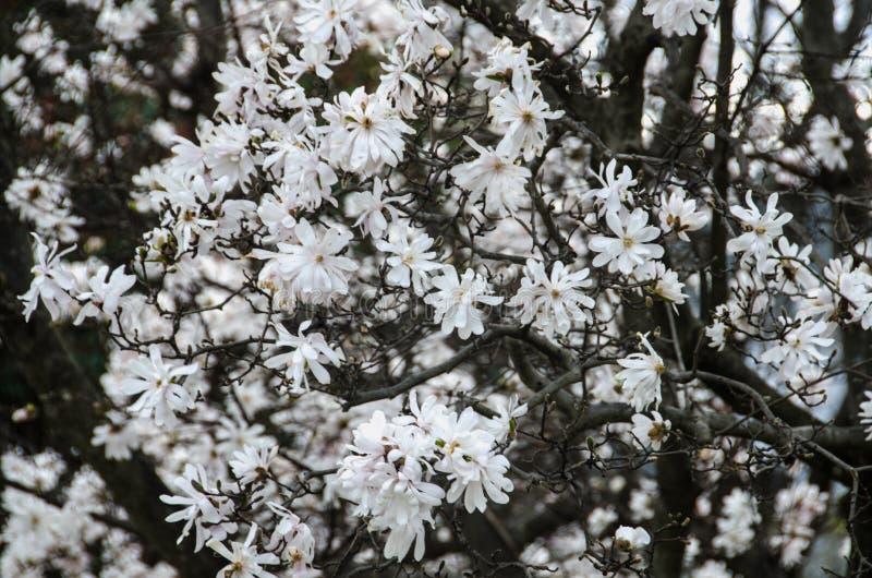 Flores na primavera - 2 da magnólia de estrela fotografia de stock royalty free