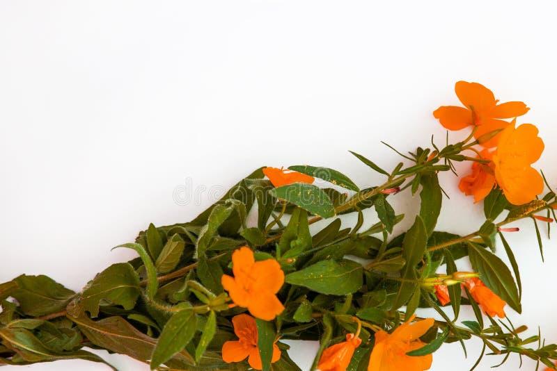 Flores naranja-rojas aisladas en el fondo blanco Endecha plana Visi?n superior Copie el espacio foto de archivo