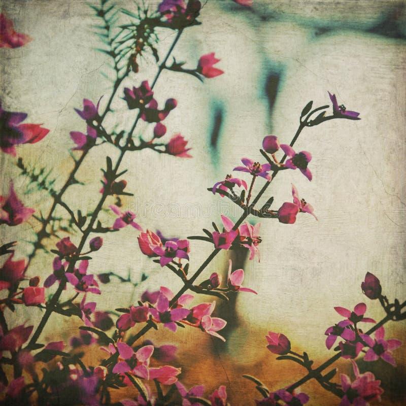 Flores nativas australianas de Boronia do estilo do vintage fotografia de stock