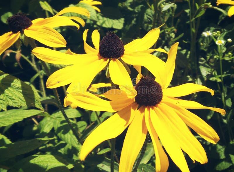 Flores negras amarillas fotos de archivo