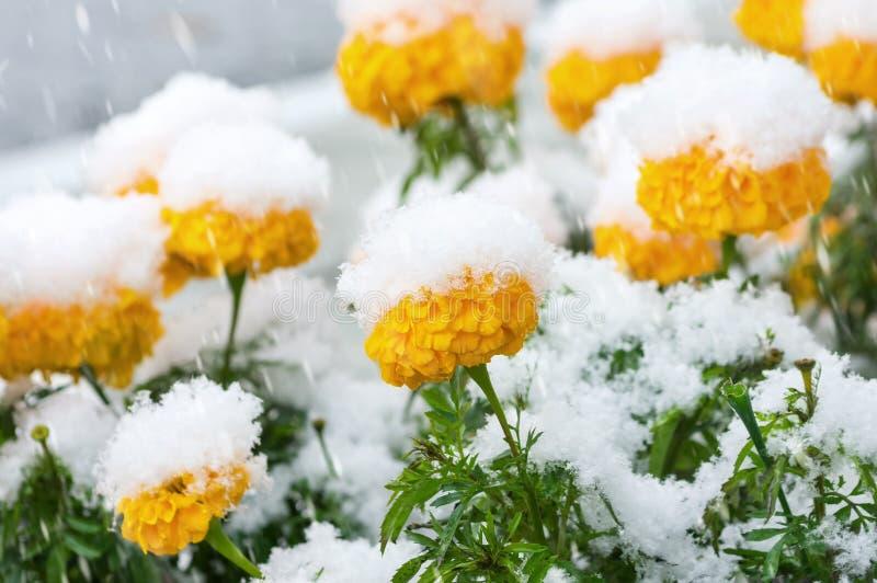 Flores nevadas fotografía de archivo