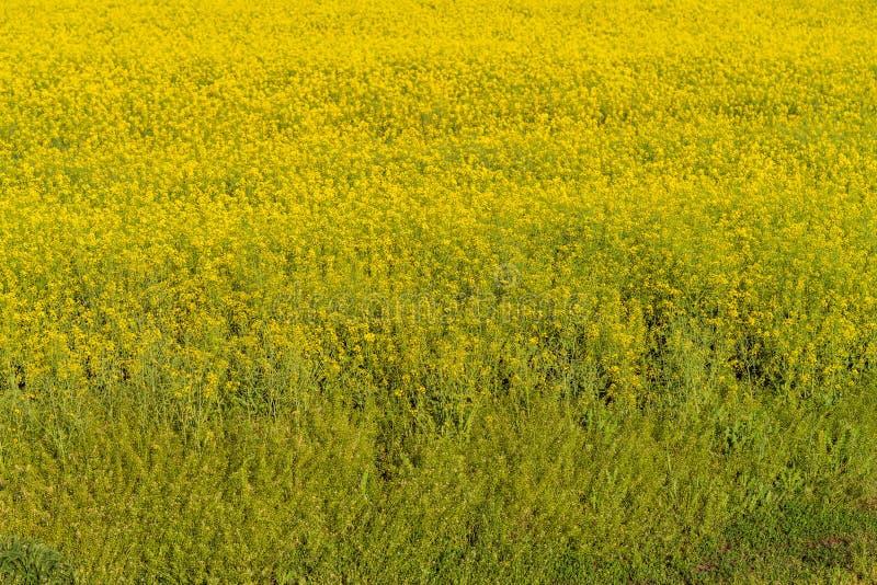 Flores no campo, colheita da colza imagens de stock royalty free