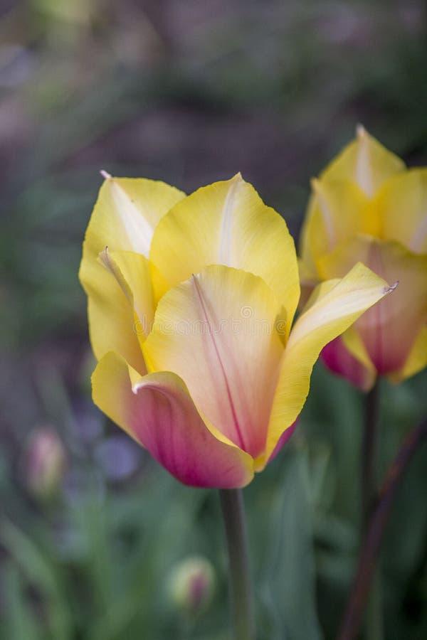 Flores no jardim Mola flores amarelas vermelhas da flor dois Tulipa da flor Fundo verde Grama imagem de stock royalty free