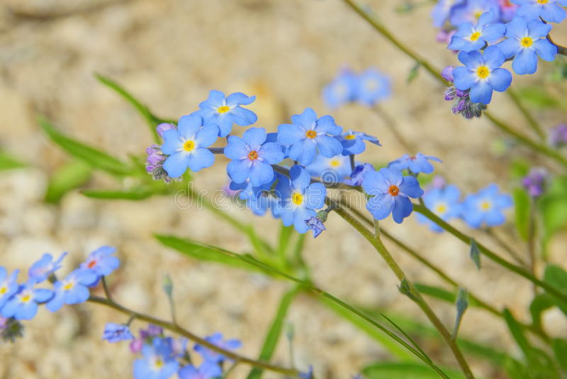 Flores no minúsculas de Forgetme fotos de archivo
