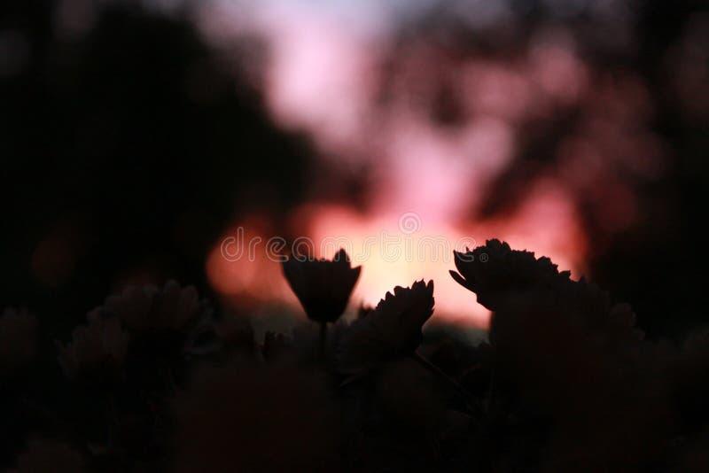 Flores no por do sol cor-de-rosa fotografia de stock royalty free