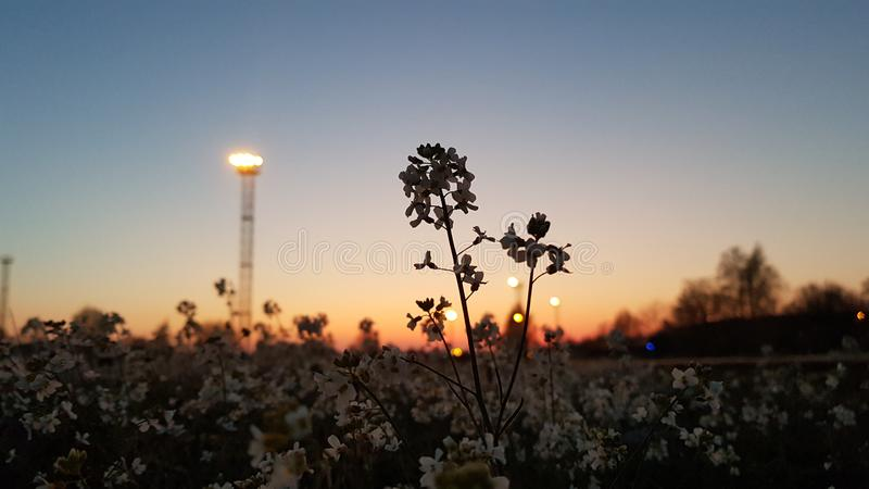 Flores no por do sol fotografia de stock