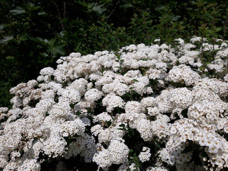 Flores nupciais da grinalda de Spirea do véu nupcial foto de stock