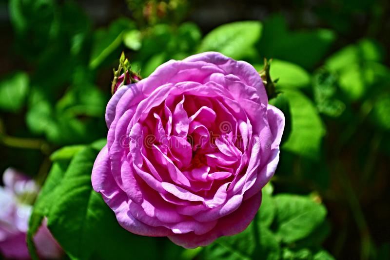 Flores?a o ch? levantou-se Fundo da flor da mola Fundo floral Fundo bonito da natureza Fundo cor-de-rosa foto de stock