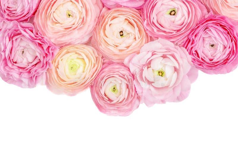 Flores?a o frame Flores cor-de-rosa do ran?nculo isoladas em um fundo branco Conceito floral do ver?o fotos de stock