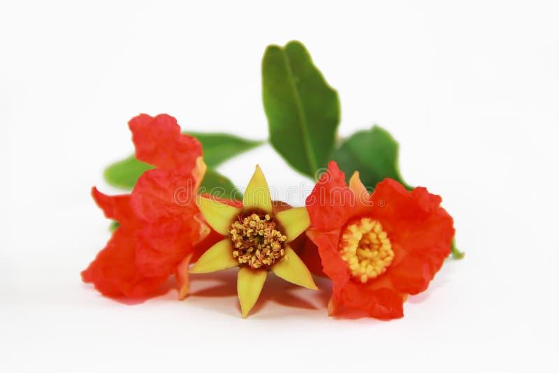 Flores orgánicas anaranjadas rojas de la granada en el fondo blanco fotografía de archivo