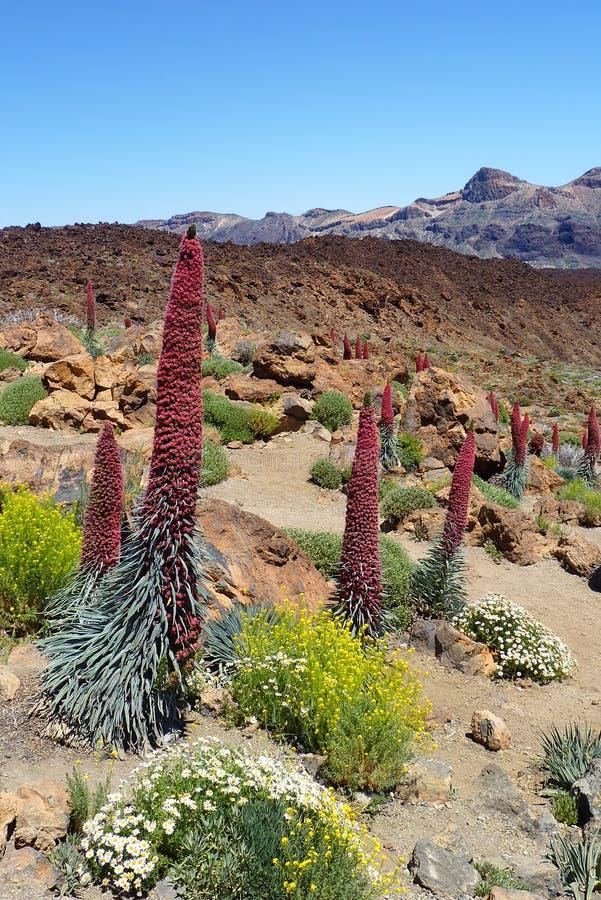 Flores originais em Tenerife fotografia de stock