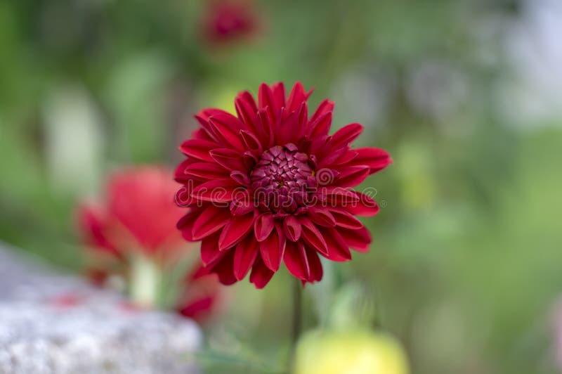 Flores ornamentales rojas de la dalia en la floración, planta floreciente hermosa en el jardín imagen de archivo libre de regalías