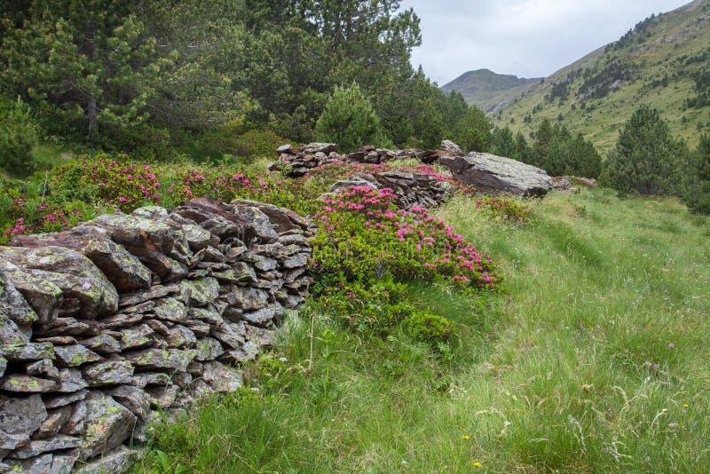 flores Oxidado-con hojas de Alpenrose en las paredes drystone fotos de archivo