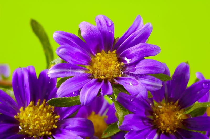 Flores púrpuras fotos de archivo libres de regalías