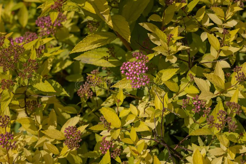 Flores púrpuras agradables en un fondo del follaje amarillo Cierre para arriba fotografía de archivo libre de regalías