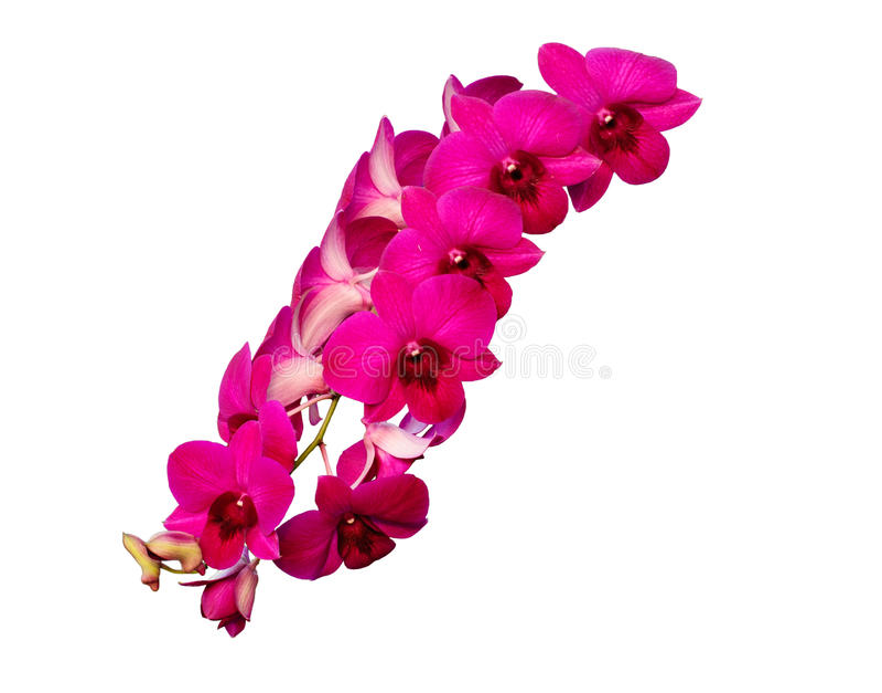 Flores púrpuras aisladas de la orquídea - Dendrobium imágenes de archivo libres de regalías