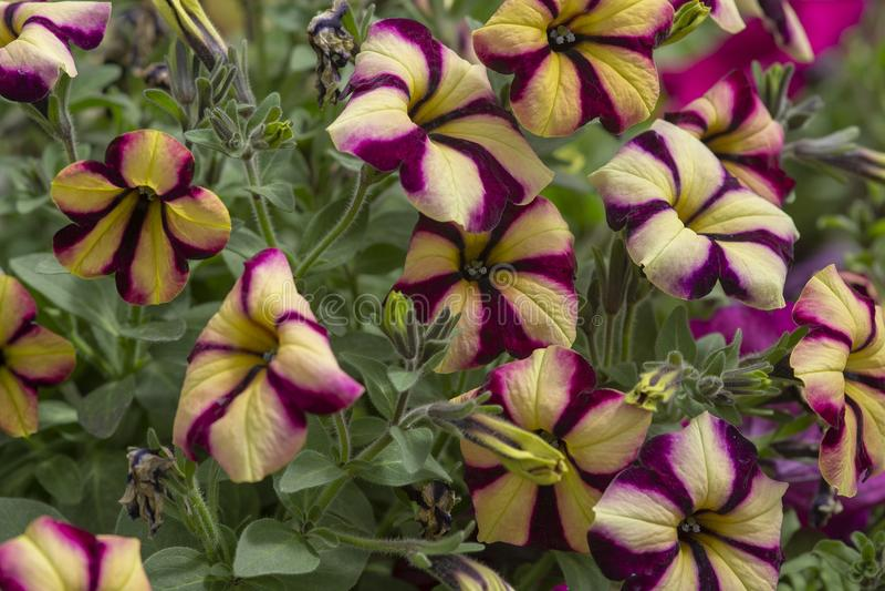 Flores púrpuras amarillas de la petunia fotografía de archivo