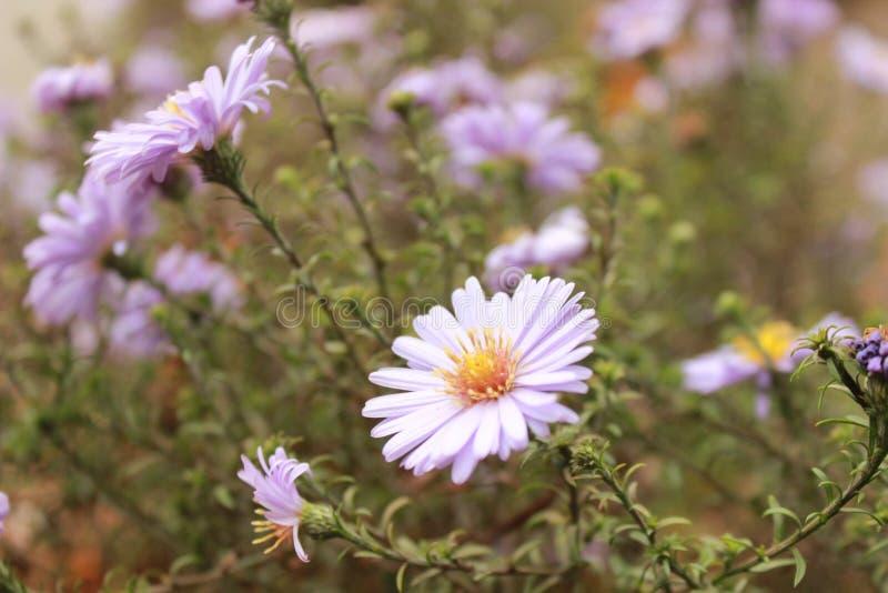 Flores púrpuras brillantes frescas hermosas en el prado del verano imagen de archivo