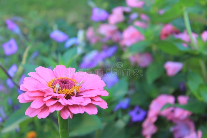 Flores púrpuras brillantes frescas hermosas en el prado del verano foto de archivo libre de regalías