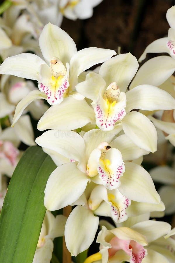 Flores púrpuras coloridas de la orquídea fotografía de archivo libre de regalías