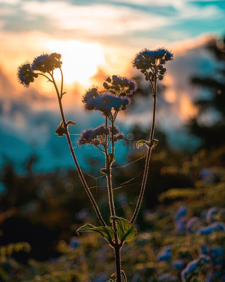 Flores púrpuras con puesta del sol anaranjada en el cielo foto de archivo libre de regalías
