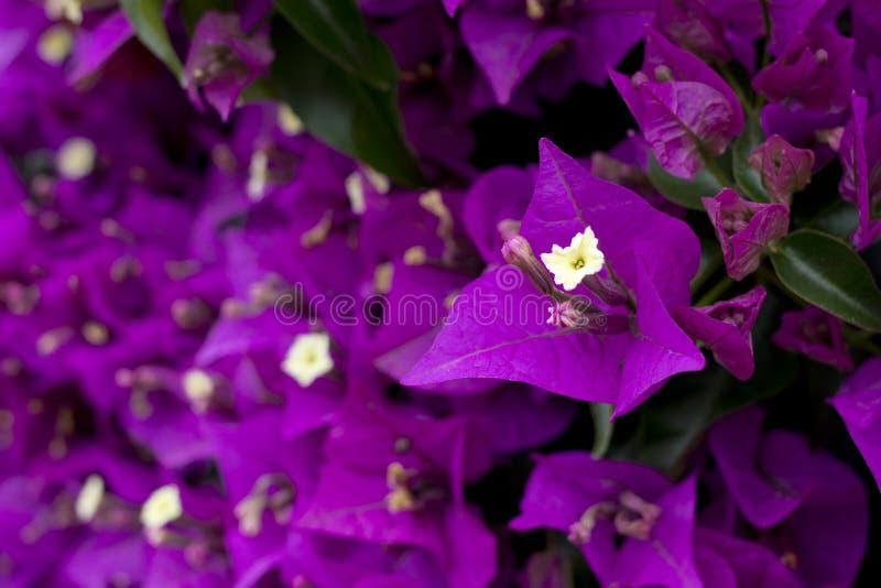 Flores púrpuras de la buganvilla fotografía de archivo libre de regalías