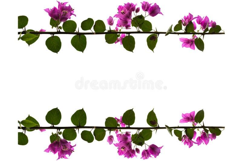 Flores púrpuras de la buganvilla con el fondo blanco imagen de archivo libre de regalías