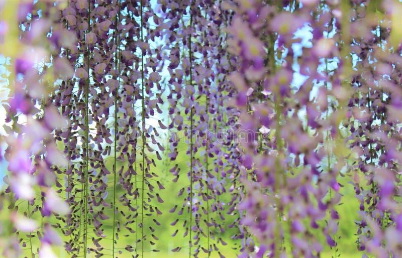 Flores púrpuras de la glicinia que florecen hacia abajo imagenes de archivo
