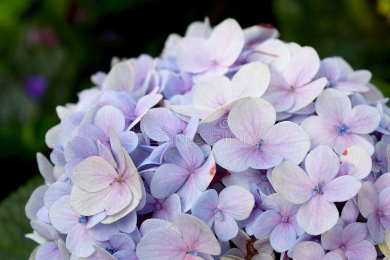 Flores púrpuras de la hortensia del fondo floral hermoso del primer fotos de archivo