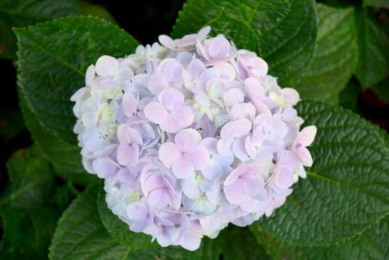 Flores púrpuras de la hortensia del fondo floral hermoso del primer foto de archivo
