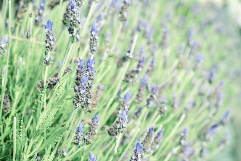 Flores púrpuras de la lavanda fotografía de archivo