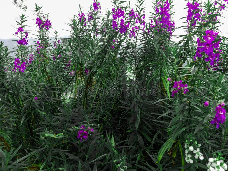 Flores púrpuras de la lavanda que florecen en la colina del santi del kai, Tomohon Indonesia imagen de archivo