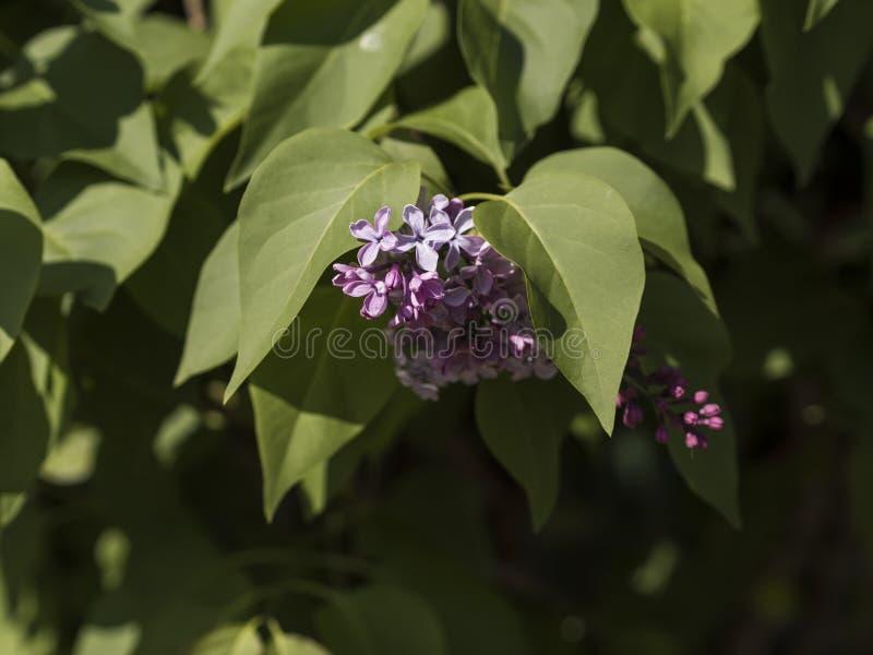 Flores púrpuras de la lila foto de archivo libre de regalías
