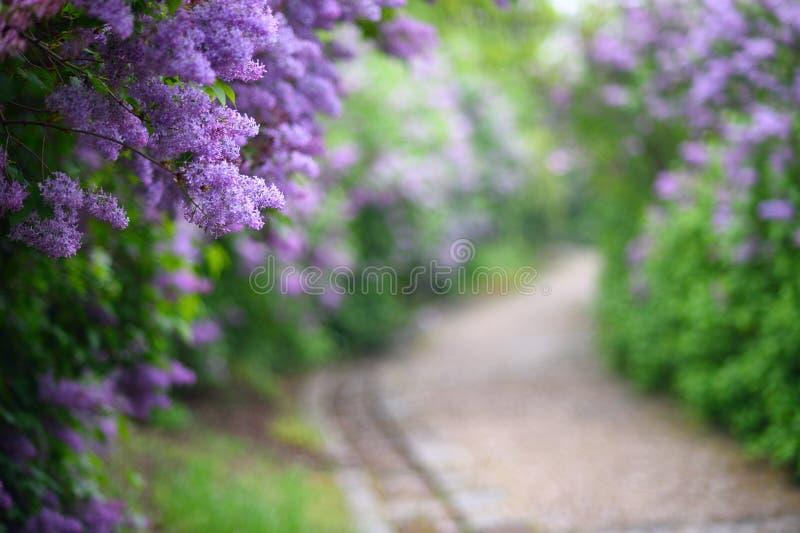 Flores púrpuras de la lila que florecen en primavera fotos de archivo