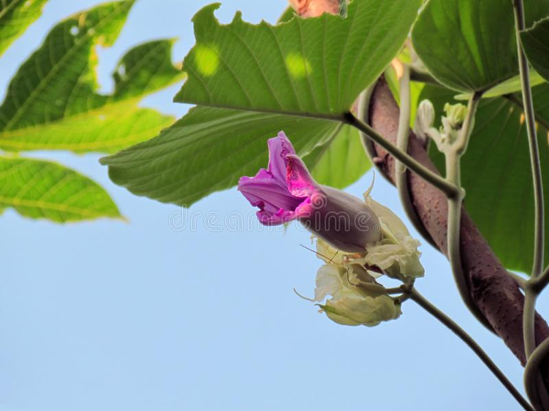 Flores púrpuras de la madera Rose, escalador del elefante, elefante Cre del bebé fotografía de archivo libre de regalías