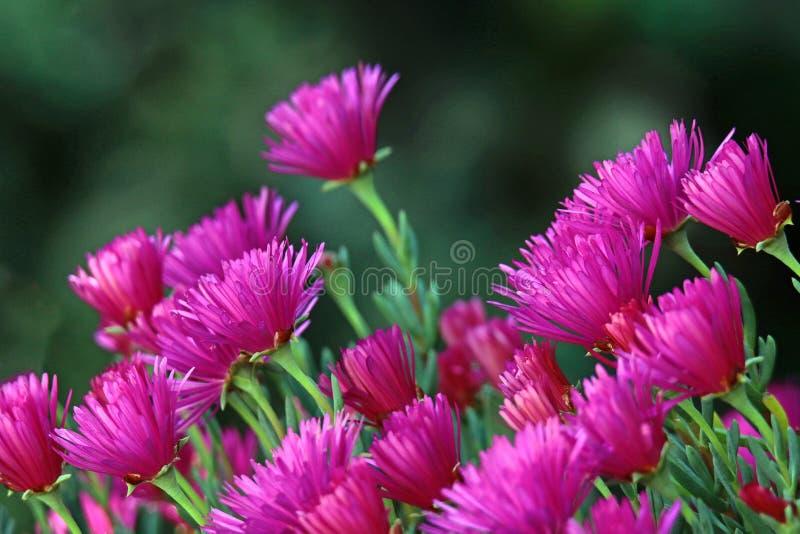 Flores púrpuras de la planta de hielo - Delosperma imagen de archivo