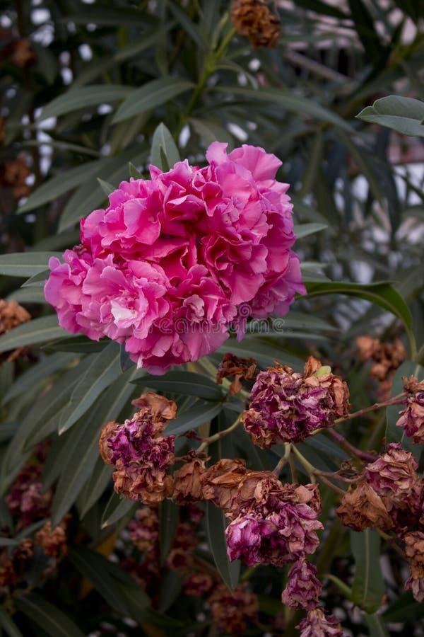 Flores púrpuras del adelfa en lanzamiento del primer imagen de archivo