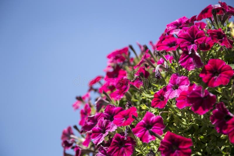 Flores púrpuras del arbusto del cielo fotografía de archivo