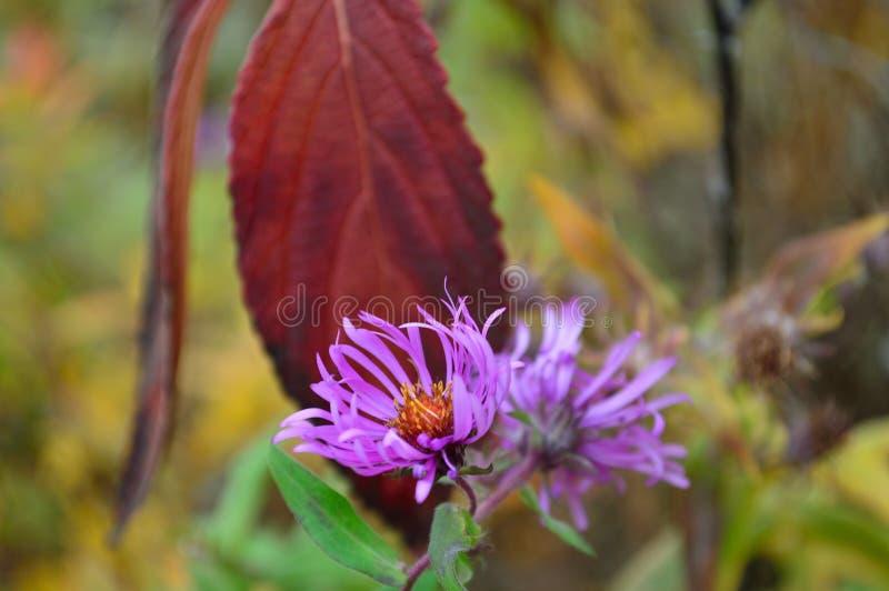 Flores púrpuras del aster del tronco grueso foto de archivo libre de regalías
