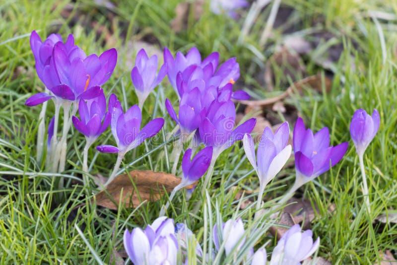 Flores púrpuras del azafrán en un parque local imagenes de archivo