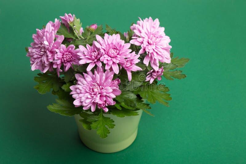 Flores púrpuras del crisantemo en fondo del Libro Verde imagen de archivo libre de regalías