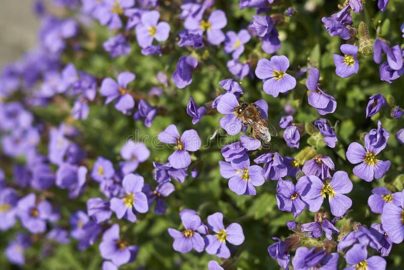 Flores púrpuras del deltoidea de Aubrieta fotos de archivo libres de regalías