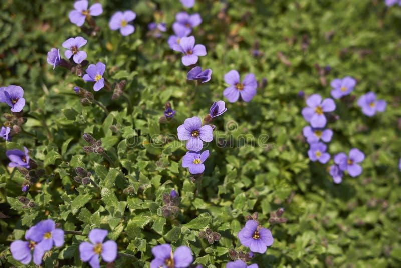 Flores púrpuras del deltoidea de Aubrieta fotografía de archivo libre de regalías