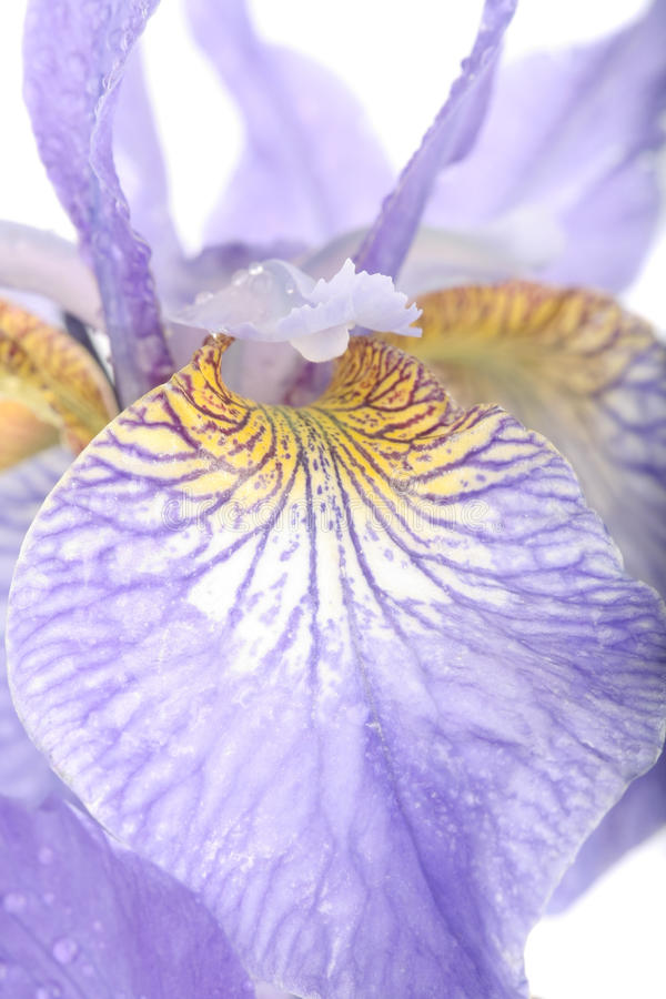 Flores púrpuras del diafragma sobre blanco fotografía de archivo libre de regalías