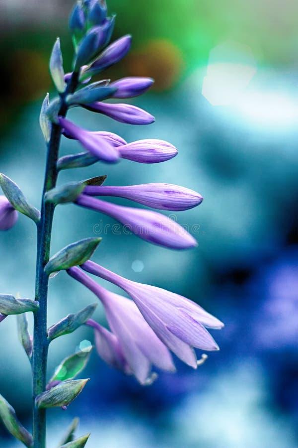 Flores púrpuras del Hosta en primer en fondo azul Hostas, plantas de los lirios de llantén Ciérrese para arriba de floral minimal fotografía de archivo libre de regalías