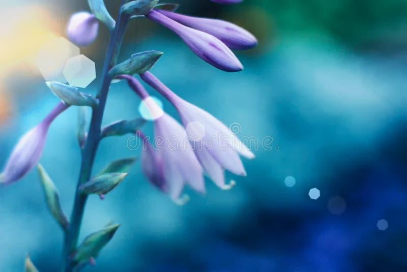 Flores púrpuras del Hosta en primer en fondo azul Hostas, plantas de los lirios de llantén Ciérrese para arriba de floral minimal fotos de archivo libres de regalías