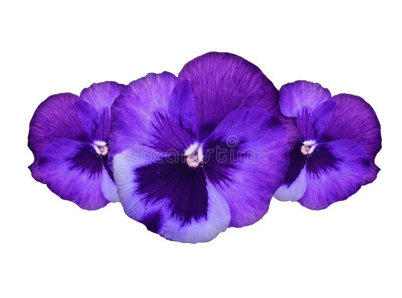 Flores púrpuras del pensamiento fotografía de archivo libre de regalías