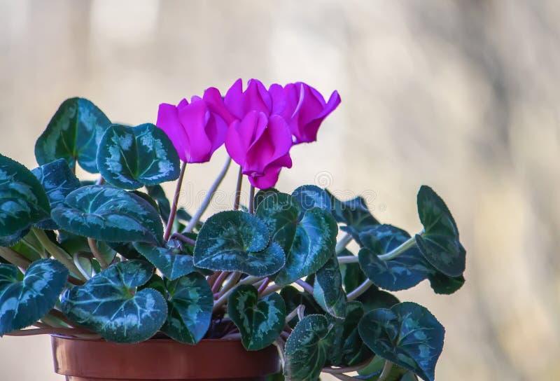 Flores púrpuras del persicum del ciclamen fotos de archivo libres de regalías