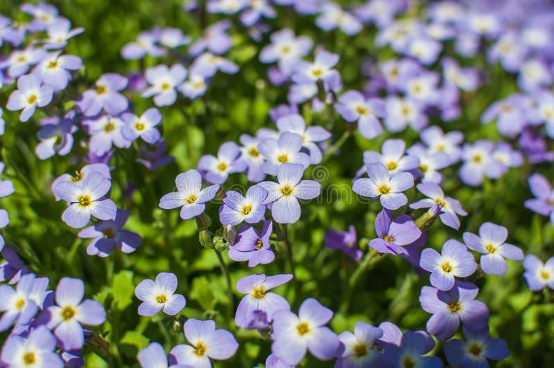 Flores púrpuras del polemonio de musgo imagen de archivo